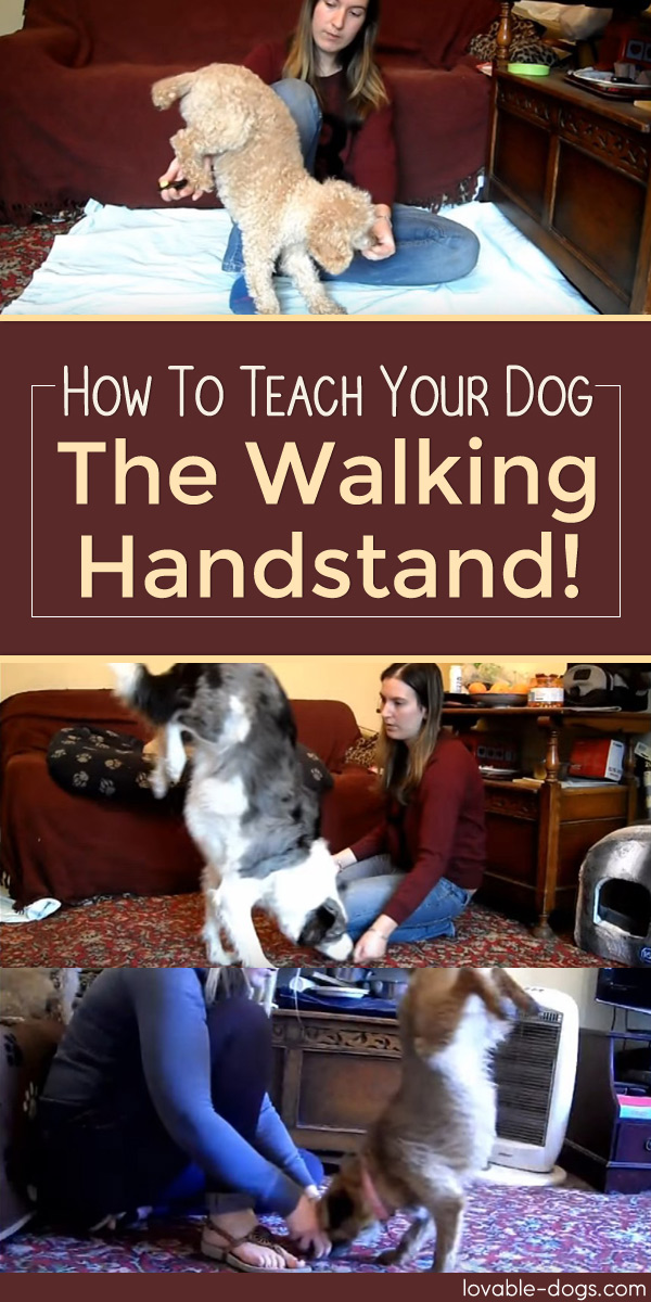 How To Teach Your Dog The Walking Handstand