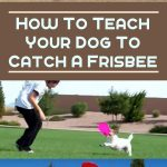 How To Teach Your Dog to Catch a Frisbee