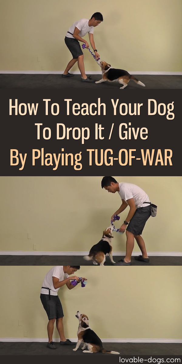How To Teach Your Dog To Drop It Give By Playing Tug-Of-War