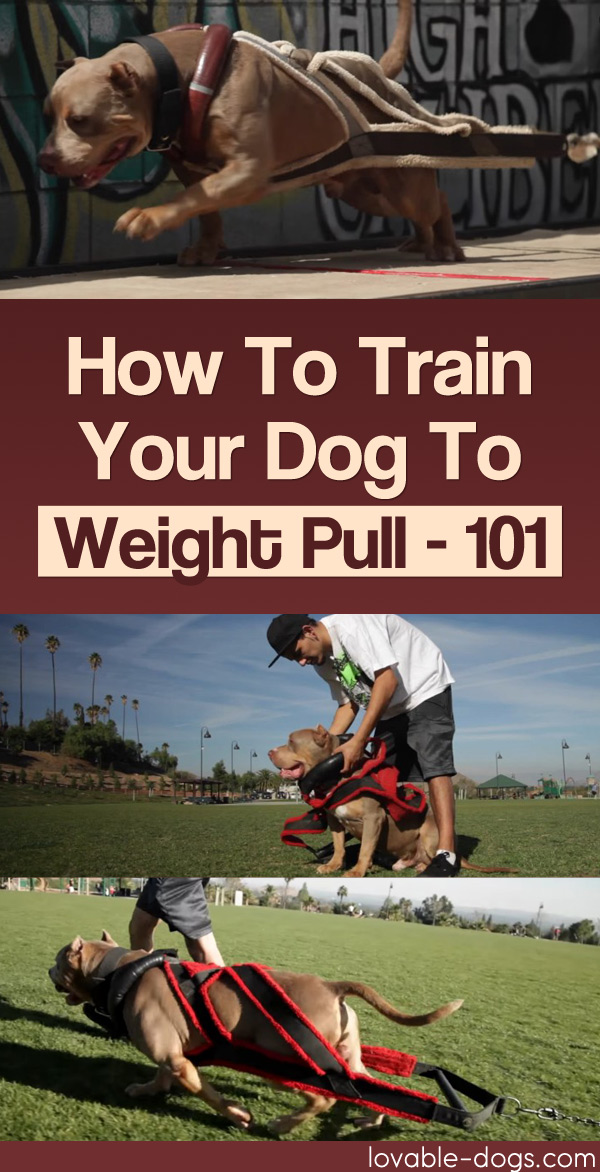 How To Train Your Dog To Weight Pull - 101