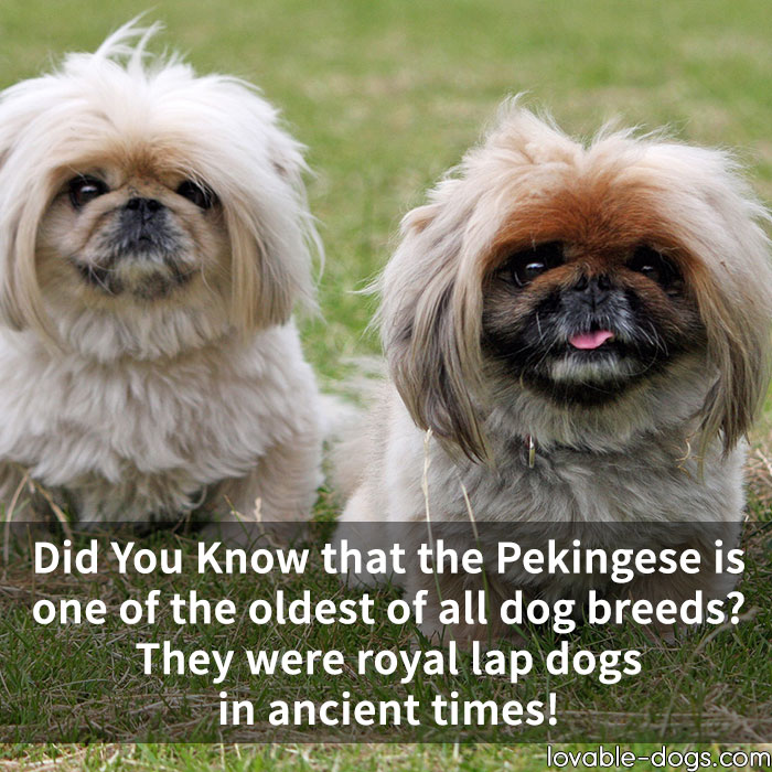 Did You Know That The Pekingese