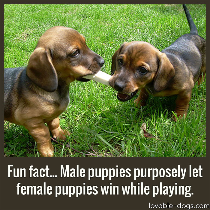 Fun Fact - Male Puppies Purposely Let Female Puppies Win While Playing