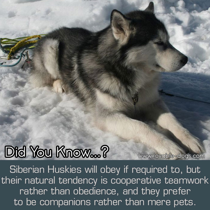 Siberian Huskies Will Obey If Required To, But